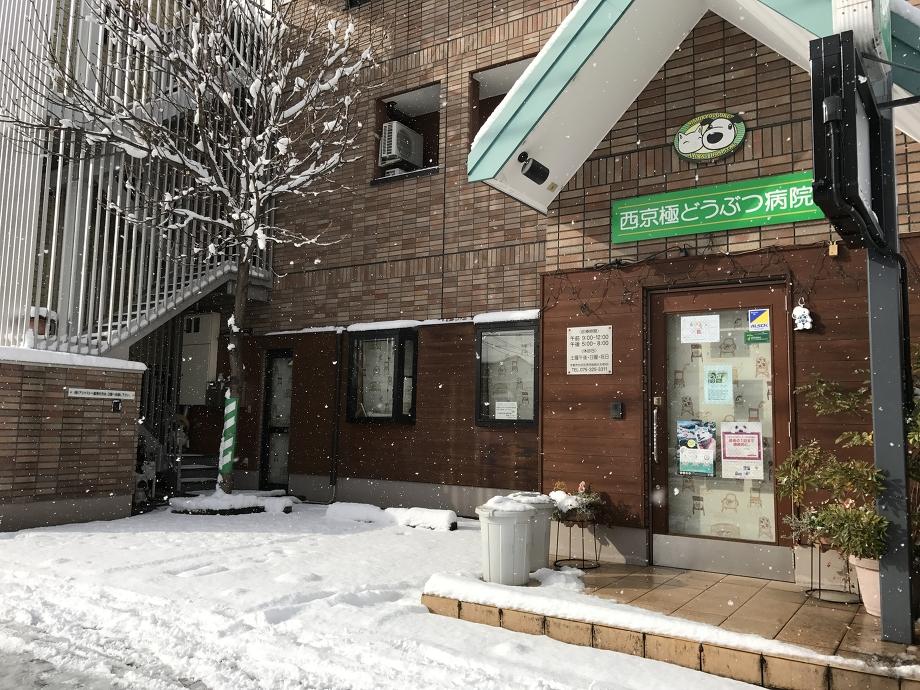 西京極どうぶつ病院に雪が